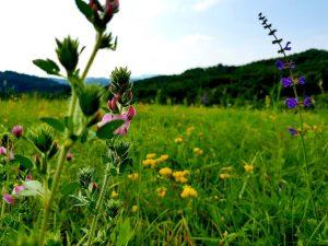Strahinjčica, orhideje, autor: Jasenka Haleuš